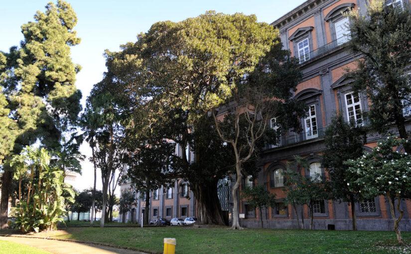 ALBERI NELLA CITTÀ – Il Ficus magnolioides nel giardino di Palazzo Reale